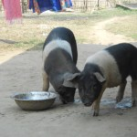 Quality Piglets Distributed to benefeciaries